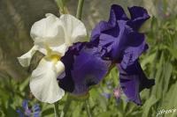 Iris 2021 05 11