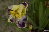 Iris 2021 06 07 3